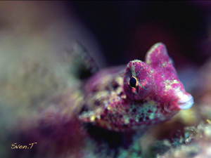 Bartel's dragonet, very nice little fish by Sven Tramaux 